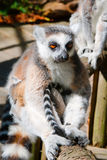 Lemur sitting on a tree. Thoughtful lemur sitting on a tree and misses Stock Photo