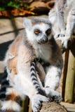 Lemur sitting on a tree Stock Photo