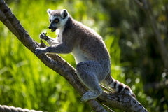 Lemur sitting on a tree branch Stock Photo