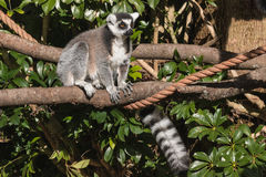 Lemur sitting on tree branch Stock Images