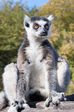 Lemur sitting on a tree branch Stock Images