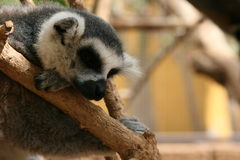 Lemur Sleeping. A ring tailed lemur snoozes in the branches of his cage Royalty Free Stock Photos