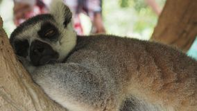 Lemur Sleeping Royalty Free Stock Photography