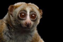 Lemur Slow Loris. Close-up Portrait of Lemur Slow Loris Stare Isolated Black background royalty free stock photo