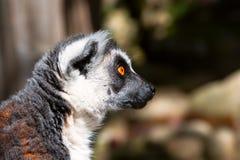 Lemur_slushayu you carefully. Lemur look very close and careful closeup Stock Images
