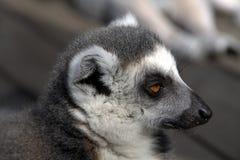 Lemur sonolento fotos de stock