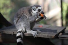 Lemur eating a piece of fruit stock image