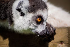 A Lemur stalking. Another in what appears to be a playfight Royalty Free Stock Image