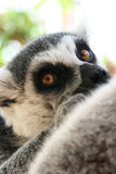 Lemur Stare. A young ring tailed lemur stares curiously into the camera lens Stock Photos