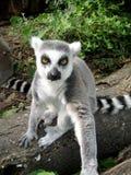 Lemur. A lemur staring you down stock images
