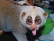 Lemur stawia out jęzor Zdjęcia Royalty Free