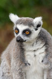 Lemur suivi par boucle Photo libre de droits