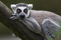 Lemur suivi par boucle Photographie stock libre de droits