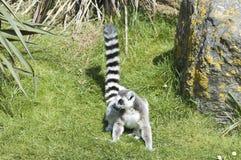Lemur suivi par boucle - catta de Lemur Image libre de droits