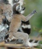 Lemur suivi par boucle de chéri Photographie stock libre de droits