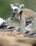 Lemur suivi par boucle de chéri Photos libres de droits