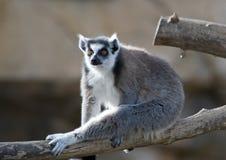Lemur suivi par boucle s'exposant au soleil Photos libres de droits