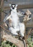 Lemur suivi par boucle Sunbathung Photographie stock