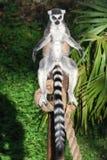 lemur sunbathing Стоковое Фото