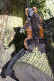 Lemur sunbathing Zdjęcie Stock