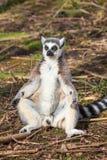 Lemur sunbathing Fotografia Royalty Free