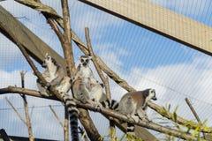 Lemur sunbathing Stock Image