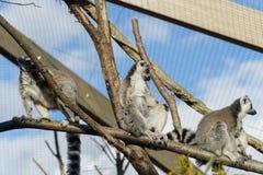 Lemur sunbathing Stock Photography