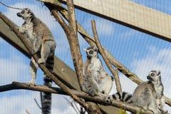 Lemur sunbathing Royalty Free Stock Images