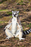 A lemur is sunbathing Royalty Free Stock Photography
