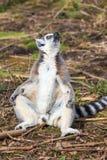 A lemur is sunbathing Stock Photography