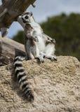 Lemur sunbathing na skale w Madrid ` s zoo Madagascar Obraz Royalty Free