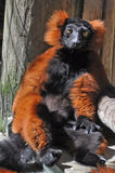 Lemur Sunbathing in Sleepy Summer Sun Red Ringtail Royalty Free Stock Image