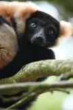 Lemur superado Imágenes de archivo libres de regalías