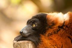 Lemur superado rojo Fotografía de archivo
