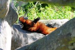 Lemur superado rojo Imagenes de archivo