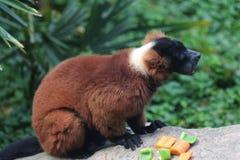 Lemur superado rojo Fotos de archivo libres de regalías