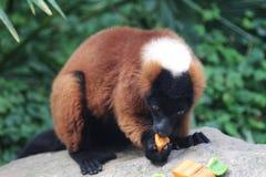 Lemur superado rojo Fotografía de archivo libre de regalías