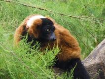 Lemur superado rojo, Varecia Rubra Imagen de archivo libre de regalías