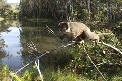 Lemur sur le branchement photo stock