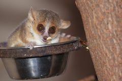 lemur szara mysz fotografia stock