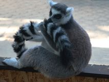 Lemur with a tail in the paw stock image