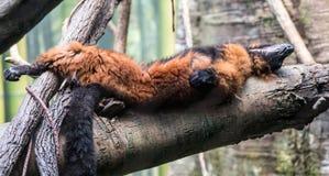 Lemur takes a nap. A Lemur takes a nap on a tree Stock Image