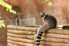 A Lemur takes a seat. A beautiful Lemur takes a seat after some spirited play at the Zoo Royalty Free Stock Images