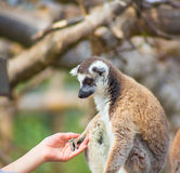 Lemur taking human hand Stock Photos