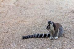 Lemur teenager, Ring-tailed Lemur. (Lemur-catt Royalty Free Stock Photography