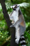 Lemur at a tree Stock Photos