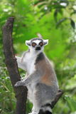 Lemur at a tree Stock Photo