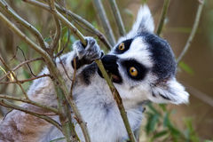 Lemur in a tree. A small lemur monkey in a tree Stock Images