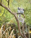 Lemur in a tree Stock Photo
