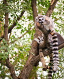 Lemur on tree Royalty Free Stock Photo